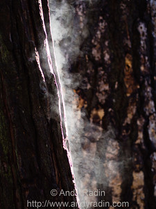 Steam rising from wet tree trunks.  Yosemite National Park, CA