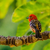 Flame colored Tanager - Beautiful bird with bright red head and spoted wings in Boquete, Panama.