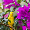Prothonotary Wabler - Female - Golden yellow wabler with purple flowers