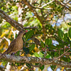 Brownish Twistwing - Brownish Twistwing eating red berries