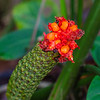Flower of the Panama Hat plant - Red and orange flowers come out of the green cones of the Panama Hat plant.