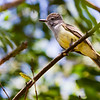 Tropical Kingbird - Tropical Kingbird in a tree, looks like a flycatcher but head is different