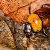 Sand loving Scarab beetle - Sand loving Scarab beetle in rainforest, Panama