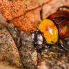 Sand loving Scarab beetle - Sand loving Scarab beetle in rainforest, Panama