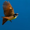 Bird in flight, Great Kiskadee - Masked with yellow chest/belly and brown/orange wings