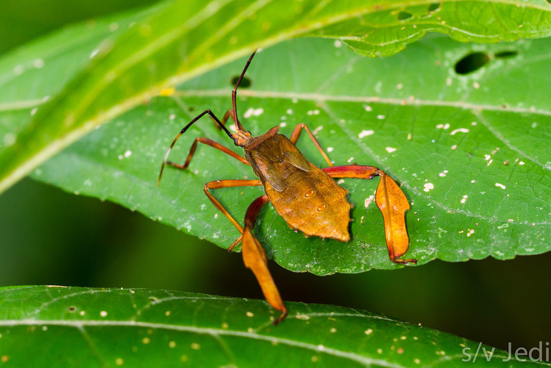 Leaf footed bug - Strange bug with hind legs like leafs.