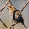 Baby bird - This bird still has it's nest feathers and a crest