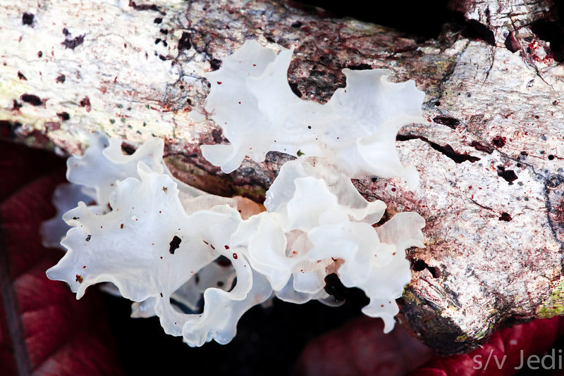 Silver ear fungus - This fungus is also known as Snow fungus or White jelly mushroom