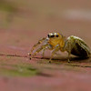 Yellow jumping spider - Small (1/4 inch) jumping spider with yellow head and green body