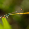 Rambur's Forktail - Damselfly with green and black stripes on body and eyes. Hind body is yellow in Georgia