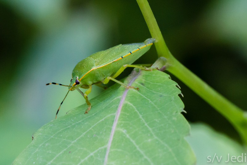 Green Stink bug with yellow stripe - Green stink bug with yellow/black checkered antennas and yellow, black dotted, stripe