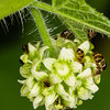 Little bees on white flower - Lots of little bees on a fenugreek flower