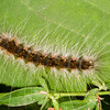 Hyphantria Cunea Caterpillar - Hairy brown orange caterpillar