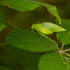 Green katydid - Green katydid hidding between the leaves, great camouflage.