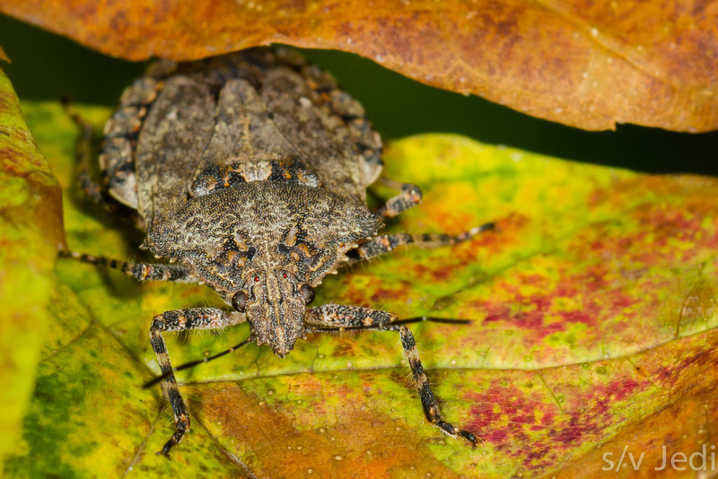 Brown marmorated stink bug - Brown marmorated stink bug on multi colored leaf