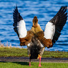 Egyptian Goose - An Egyptian Goose spreading it's wings at the Kralingse Plas in Rotterdam, The Netherlands