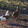 Wild Ducks - 2 wid Duck at the Kralingse Plas in Rotterdam, The Netherlands