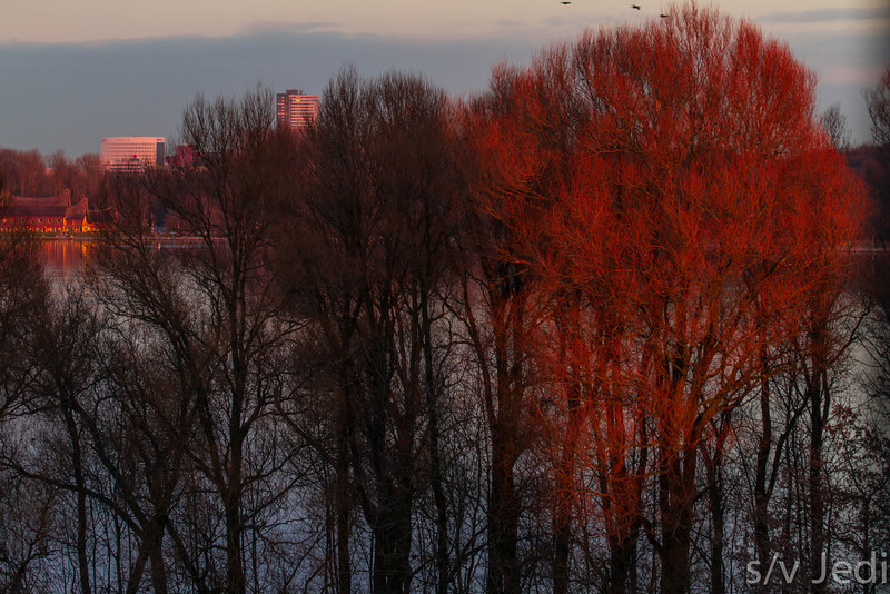 Trees on fire - Beautiful red trees along the Kralingse Plas in Rotterdam , The Netherlands