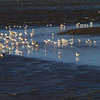 A flock of gulls - Gulls at the Nieuwe Waterweg. The Netherlands in winter