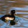 A Tufted Duck - A yellow eyed Tufted Duck at the Kralingse Plas in Rotterdam, The Netherlands