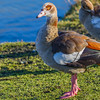 Egyptian Goose - The striking colors of the Egyptian Goose.