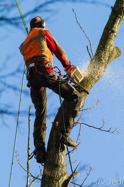 Chain saw tree cutter - Chain saw worker cutting branches high up in the tree.