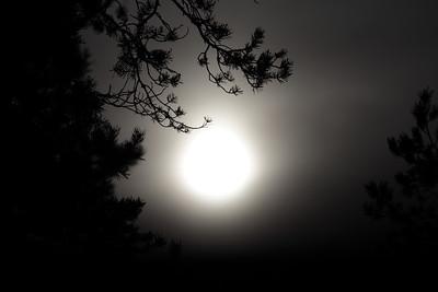 Pine tree and sun