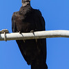 Black Vulture - Black Vulture looking majestic
