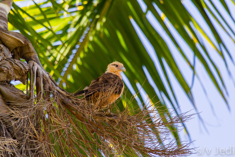 Yellow headed Caracara in Palm tree - Yellow headed Caracara has a good vantage point high in a Palm tree