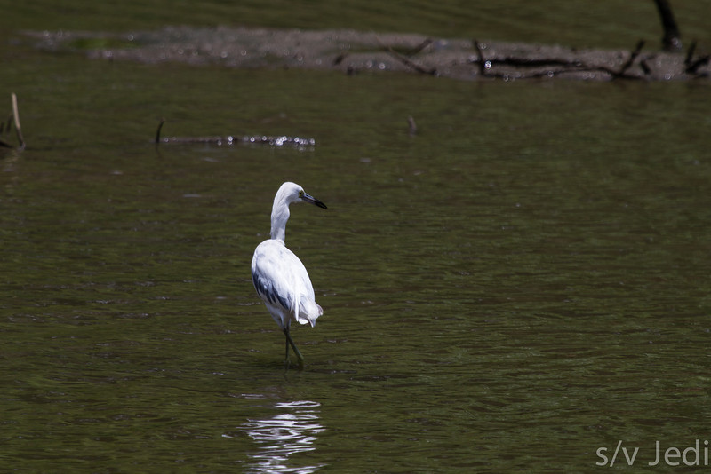 Snowy Egret on the hunt - Snowy Egret hunting small fish in shallow waters