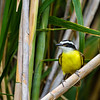 Greater Kiskadee - Greater Kiskadee on the edge of a cane field