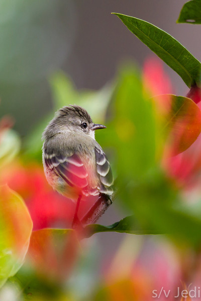 Southern Beardless Tyrannulet - Southern Beardless Tyrannulet between the leaves and flowers of the Ixora bush