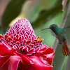 A Helaconia flower with a Hummingbird. - A Hummingbird hovering by a Helaconia flower in Boquete, Panama