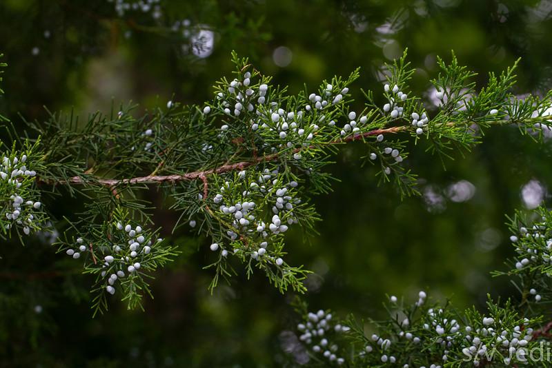 Pine tree with blue Berries - Christmas scene, Pine Tree with beautiful blue berries