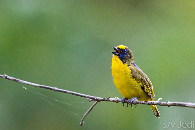 Thick-billed Euphonia on branch