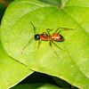 Argentine Ant (Linepithema humile)) - Argentine Ant, dark head brown body, looks like amber.