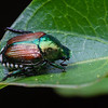 Japanese Beetle on a leaf