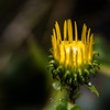 Golden Aster - A Golden Aster just opening with all kinds of lice crawling in it.