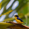 Spot-crowned Eufonia - Yellow and blue male Eufonia on a branch of a palmtree