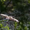Egyptian goose flying - An Egyptian goose flying over the water seen through the trees