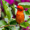 A Scarlet Tanager - A Scarlet Tanager in a bush with magenta colored flowers at Panamonte Inn, Boquete, Chirique, Panama.