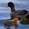 Moorhen with chick - This Moorhen chick is an ugly ducking.