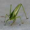 Katydid or Bush Cricket - Close-up of a green, leaf shaped female Angle winged Katydid on a white floor