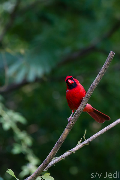 Northern Cardinal - The male Cardinal is a bright red with a masked face and red bill.