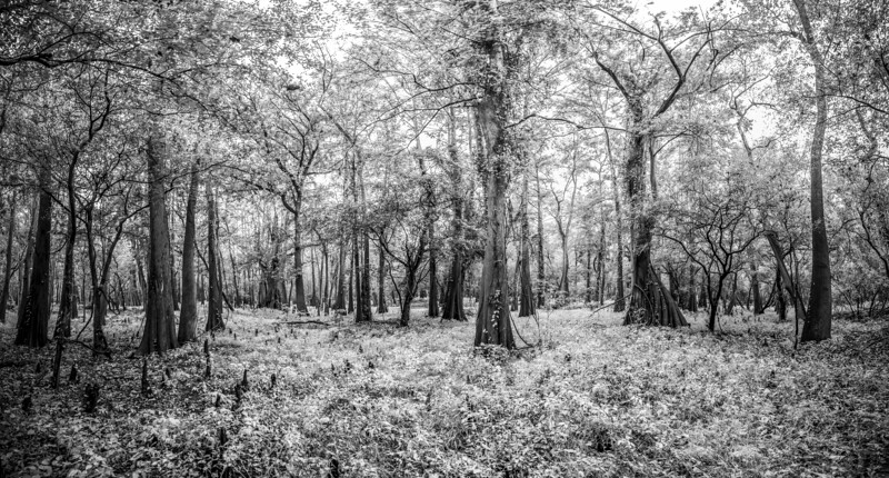 Cypress Trees_Cat Island_Louisiana_photo by Gabe DeWitt_November 05, 2014-50-2