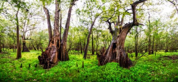 Cypress Trees_Cat Island_Louisiana_photo by Gabe DeWitt_November 05, 2014-19_edit