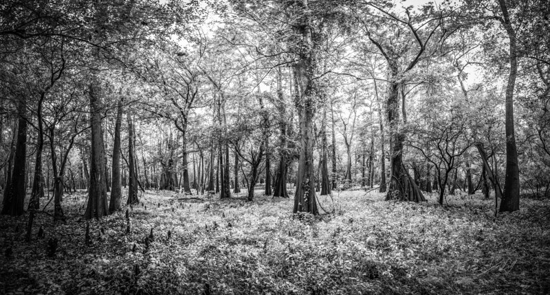 Cypress Trees_Cat Island_Louisiana_photo by Gabe DeWitt_November 05, 2014-50-3