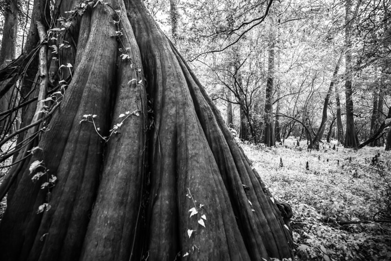 Cypress Trees_Cat Island_Louisiana_photo by Gabe DeWitt_November 05, 2014-52