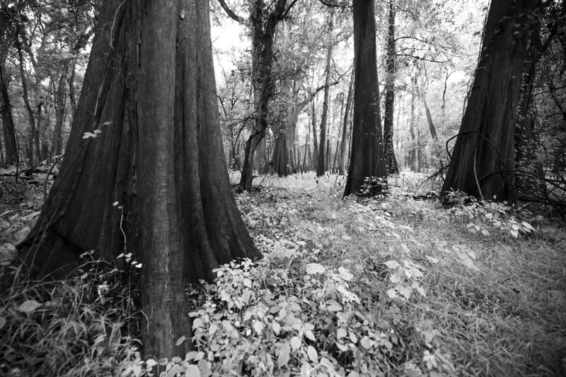 Cypress Trees_Cat Island_Louisiana_photo by Gabe DeWitt_November 05, 2014-55