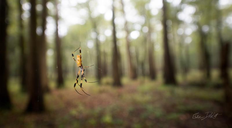 Golden Silk Spider_Cat Island_Louisiana_photo by Gabe DeWitt_November 05, 2014-110